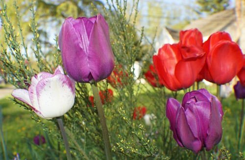 White, purple and red tulips