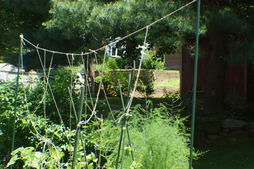 String trellis for green beans